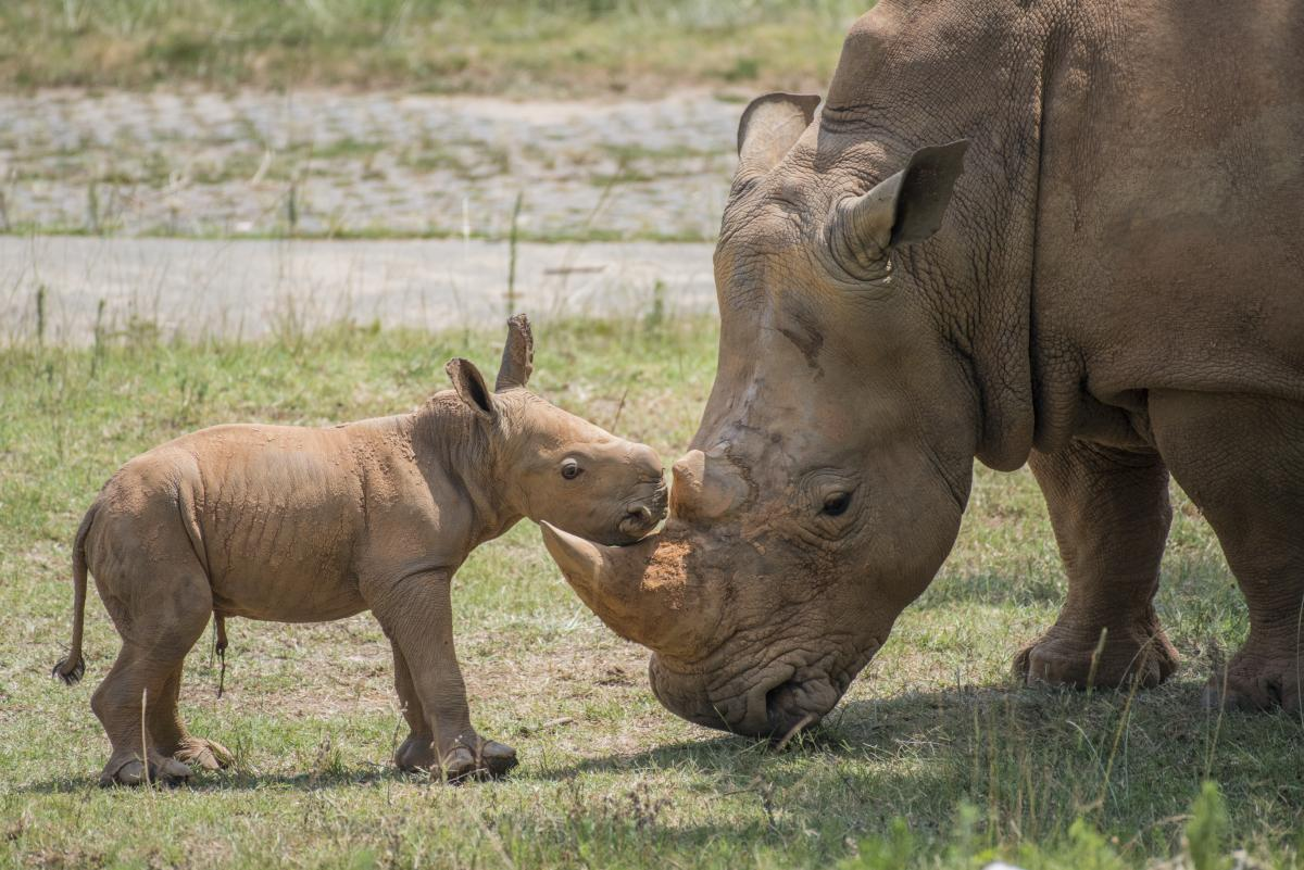 North Carolina Zoo Welcomes Two New Baby Rhinoceroses 88 5 Wfdd